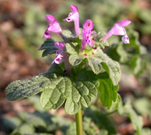 Henbit flower cluster. Purple tube shapped flowers clustered at the tip; hairy leaves.