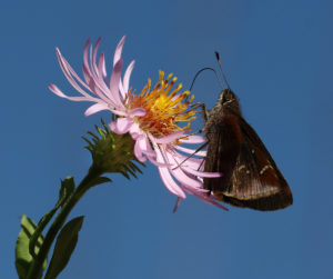 Clouded skipper on climbing aster