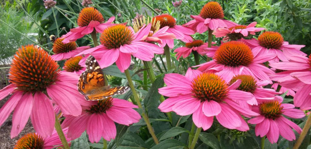 A butterfly on a purple coneflower plant.
